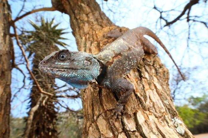 Southern Tree Agama: Maintenance & Care 9