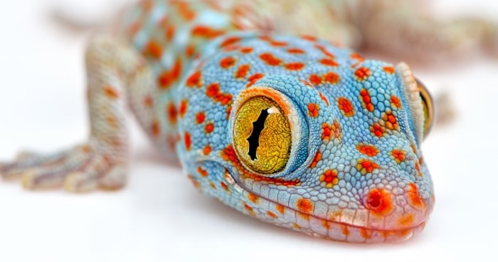 Tokay Gecko: Maintenance & Care 45