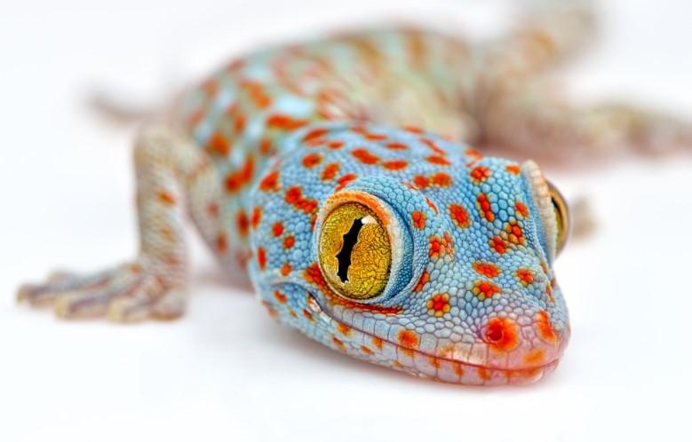 Tokay Gecko: Maintenance & Care 9