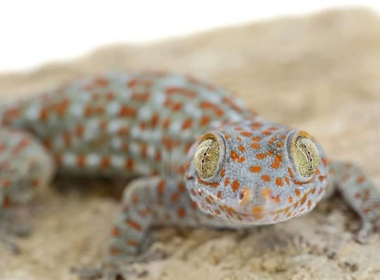 Tokay Gecko: Maintenance & Care 10