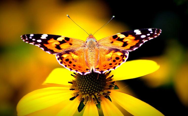 Butterflies in Mythology: Myths & Symbols 15