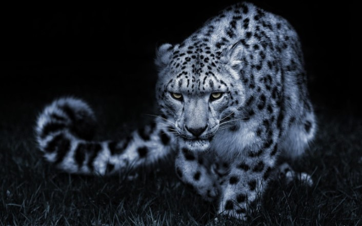 Snow Leopards: Legends & Myths 11