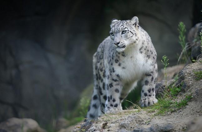 Snow Leopards: Legends & Myths 10