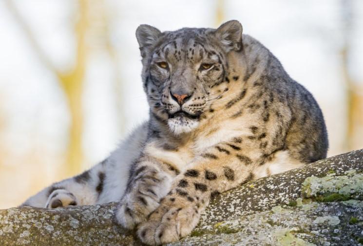 Snow Leopards: Legends &  Myths