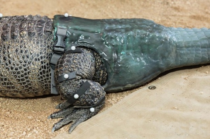 Amazing Gadgets: Prosthetic Paws and Tails for Animals 42