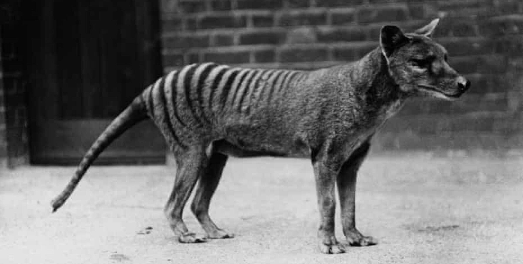 A Marsupial Wolf That Disappeared 90 Years Ago 1