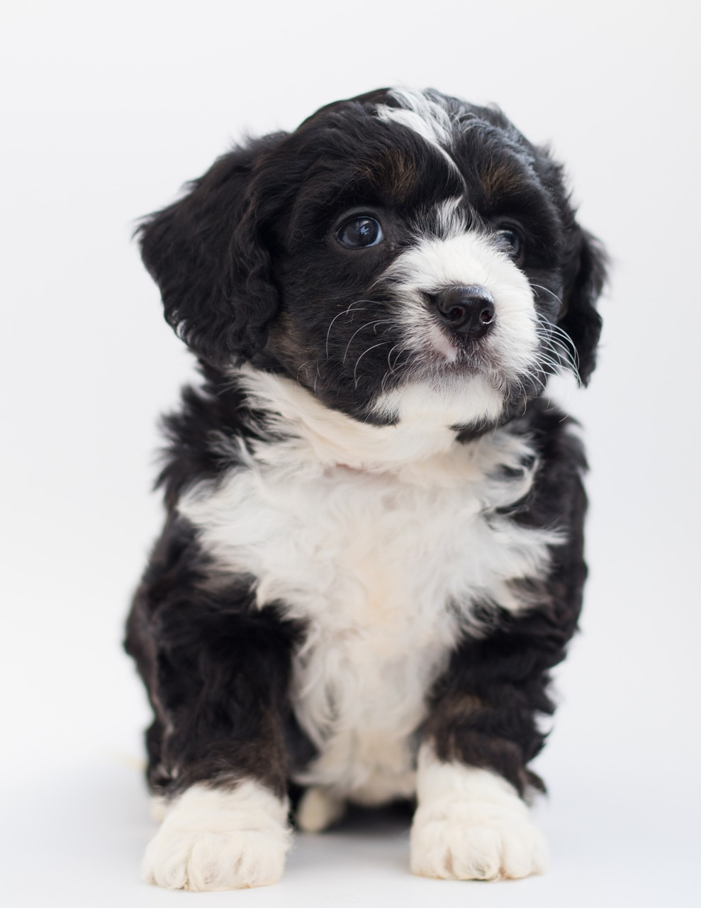 Different Coat Types of the Bernedoodles 3