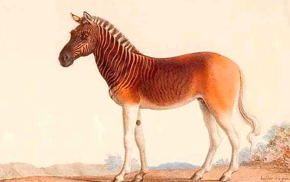 Zebra Quagga: Quagga were Extinct for 100 Years 3
