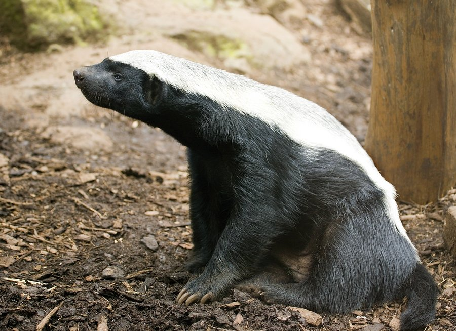 Interesting Facts About Honey Badgers 3