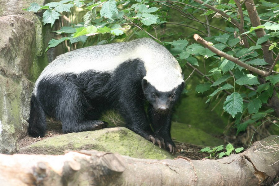 Interesting Facts About Honey Badgers 2