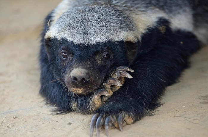 Interesting Facts About Honey Badgers 1