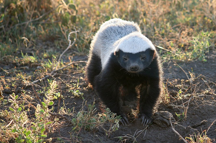 Interesting Facts About Honey Badgers 4