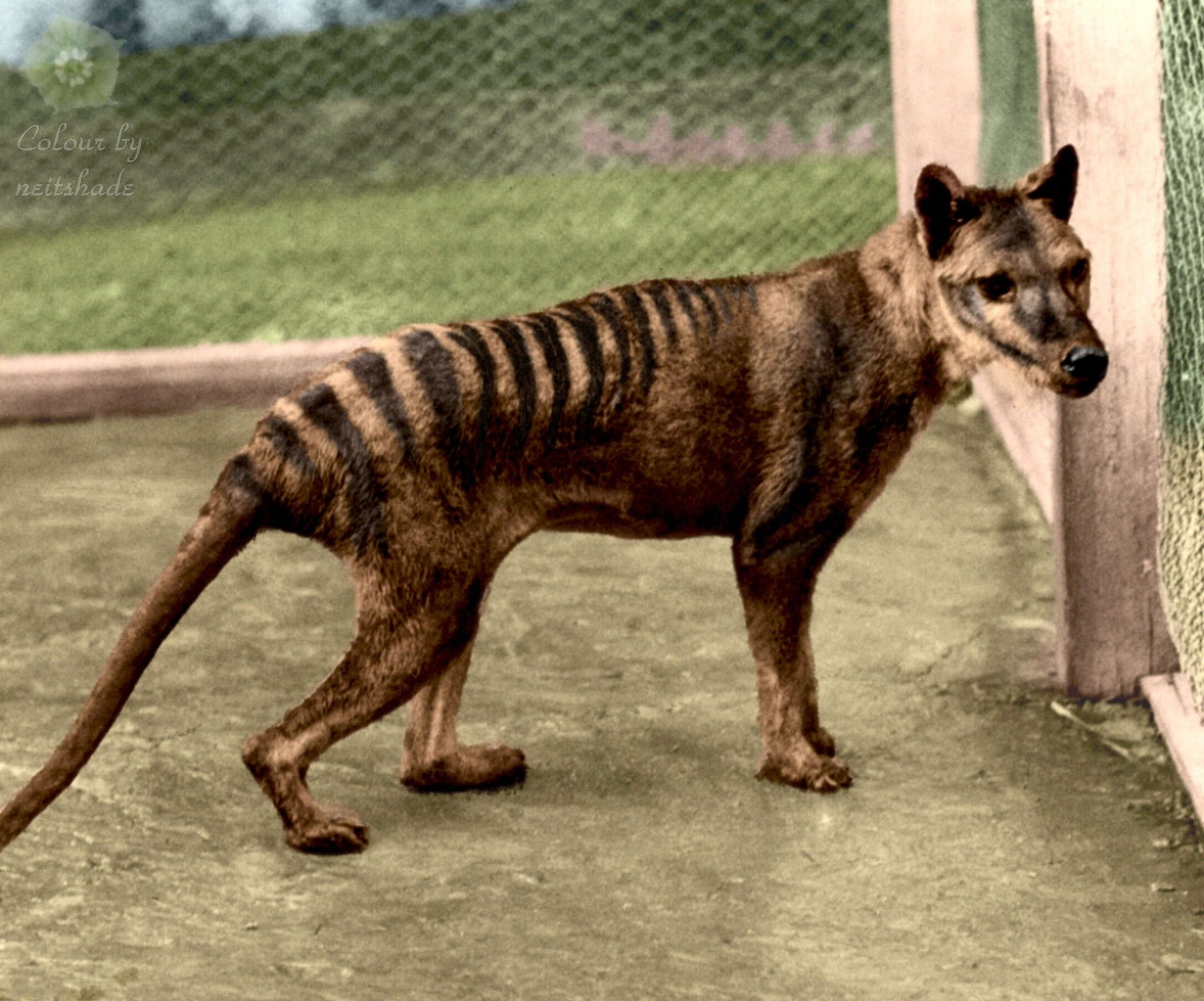 A Marsupial Wolf That Disappeared 90 Years Ago 4