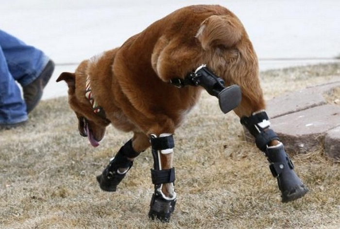 Amazing Gadgets: Prosthetic Paws and Tails for Animals 34