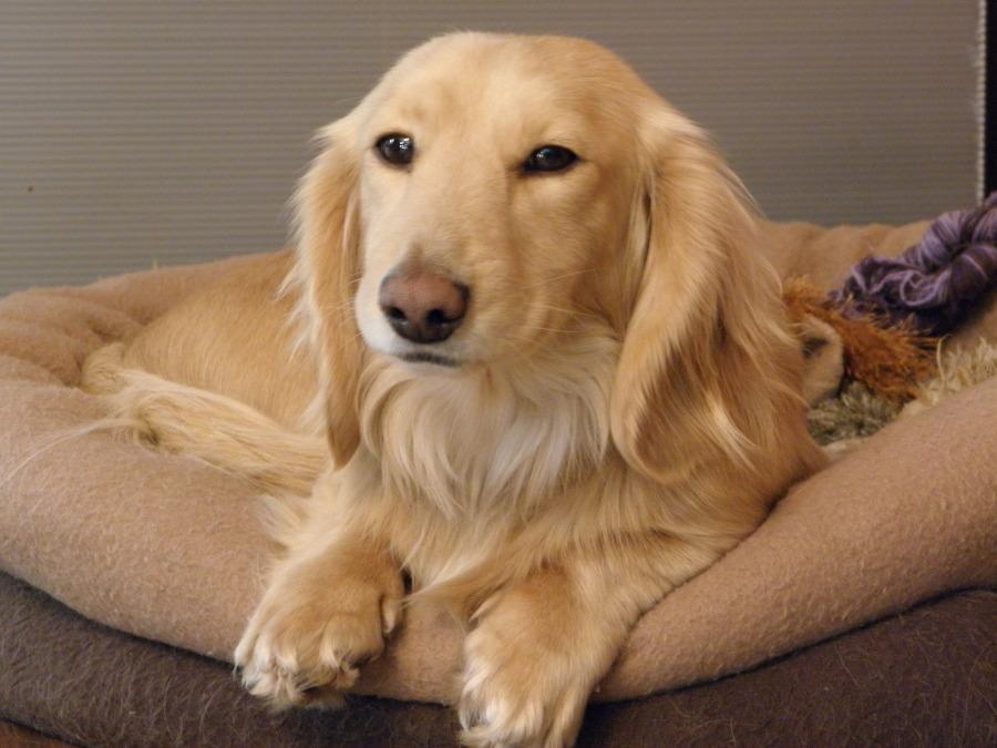 Ultimate Guide to Golden Weiner Dog 11