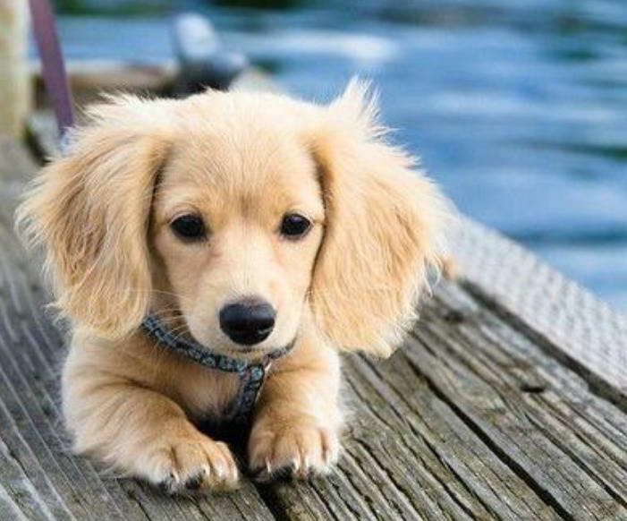 Golden Weiner Dog