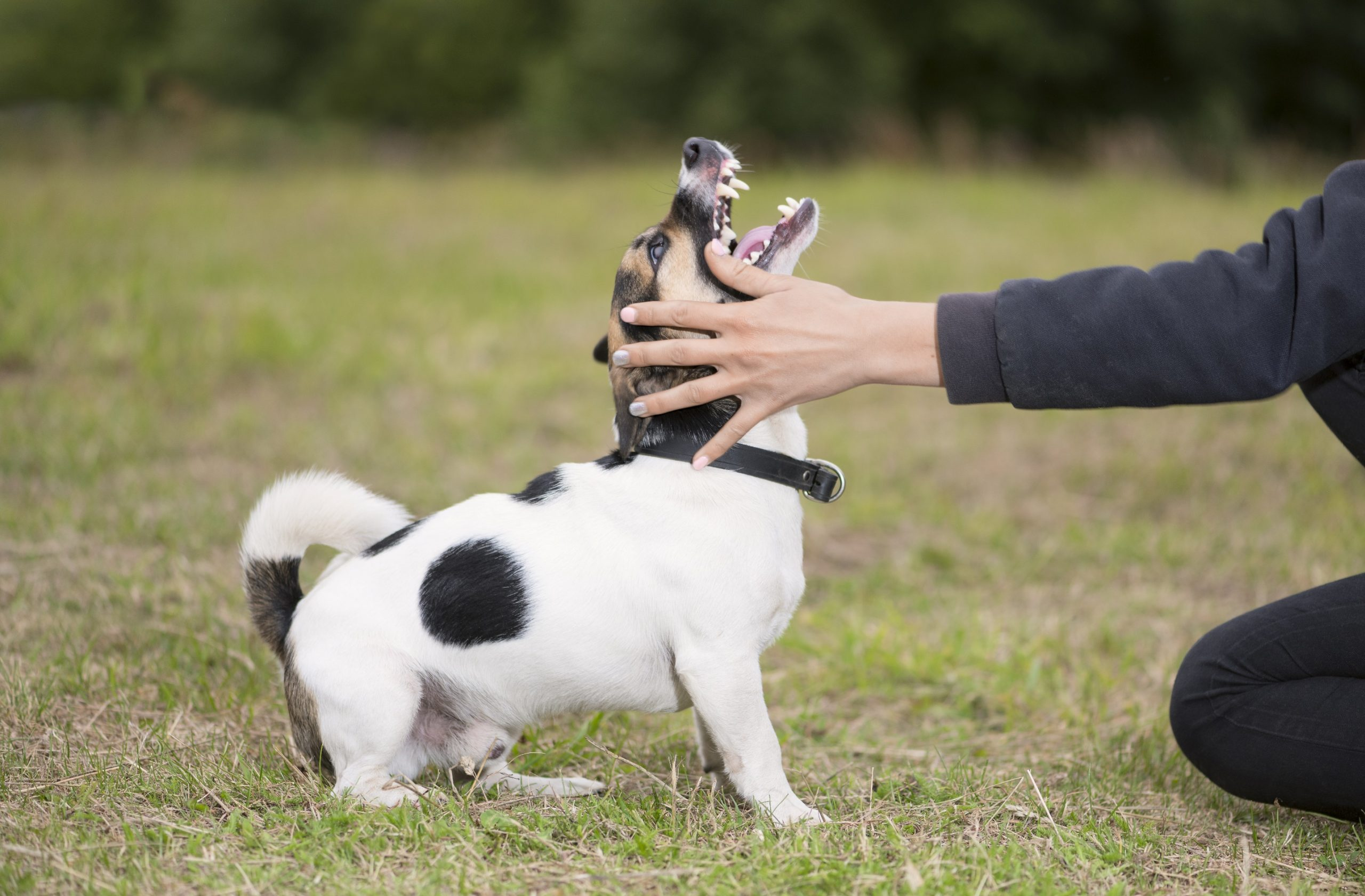 How To Train Your Dog: 5 Tips To Stop Aggressive Behavior 5