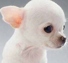 Take Care Of Your Applehead Chihuahua: A Step By Step Guide 3