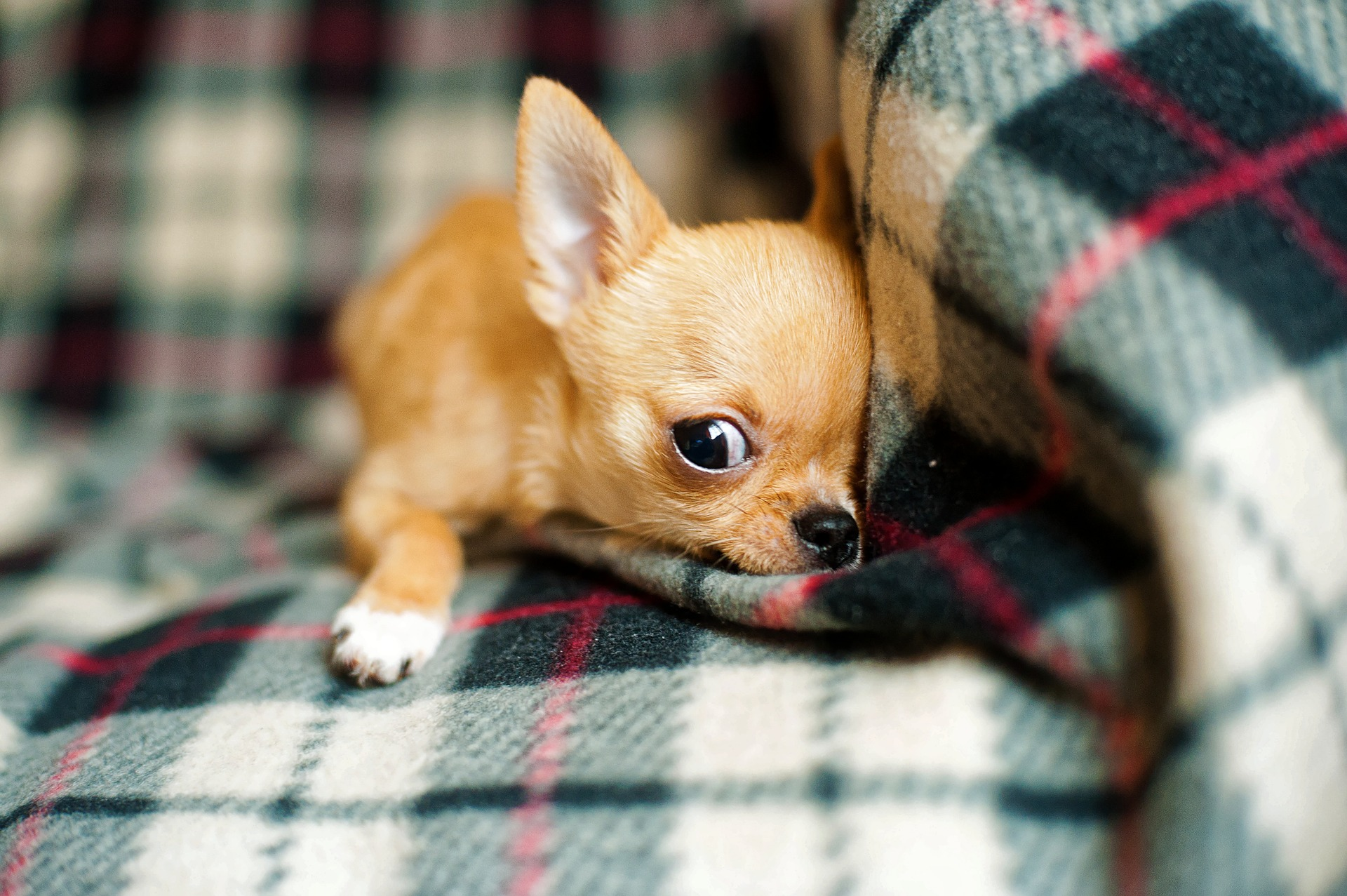 Take Care Of Your Applehead Chihuahua: A Step By Step Guide 4